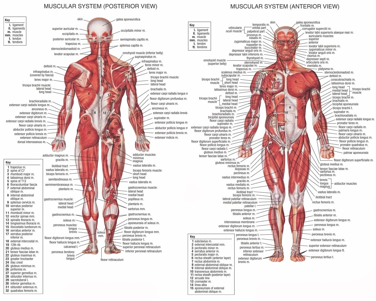 How Many Muscles Of The Human Body