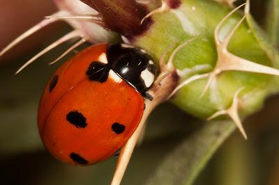 Mariquitas insectos reproduccion asexual en