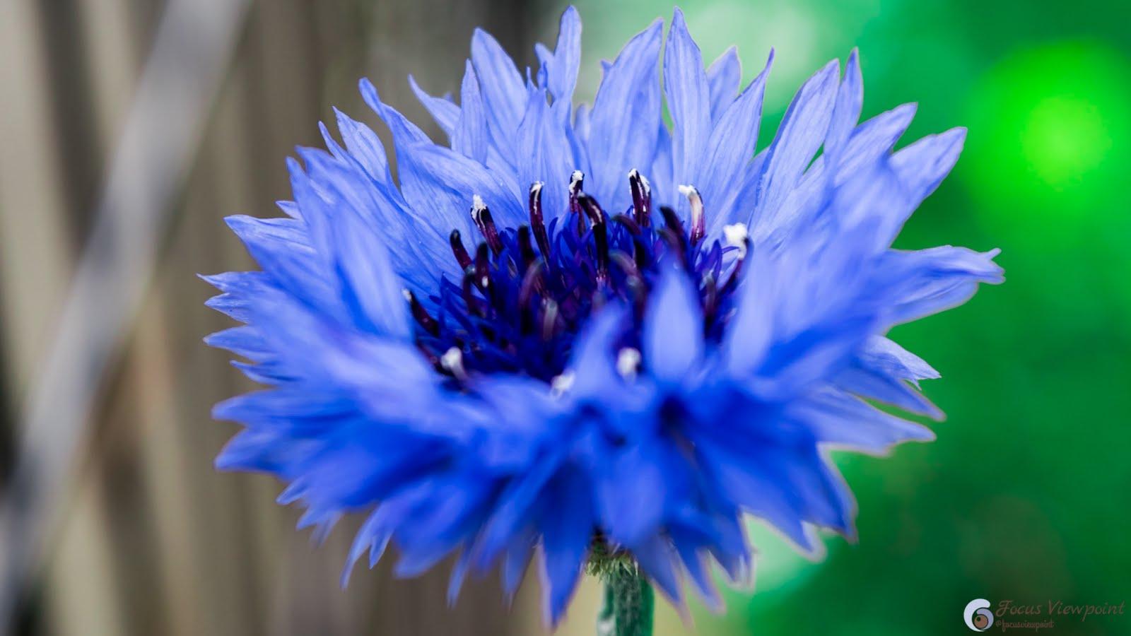 Centaurea cyanus - aka cornflower or bachelor's button -  blue flower closeup shot