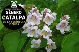 El género Catalpa arboles caducifolios, con tallo u hojas volubles con flores son grandes