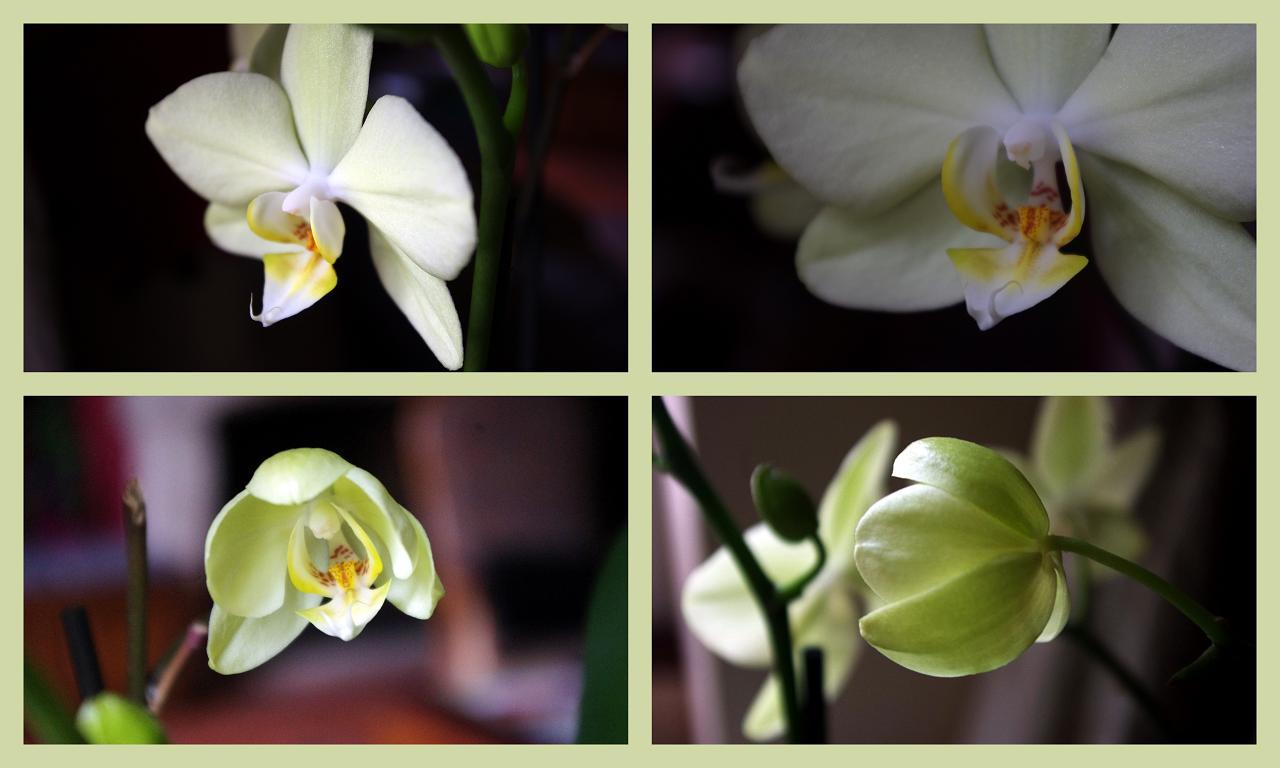 le jardin des couronnes mes orchid es. Black Bedroom Furniture Sets. Home Design Ideas