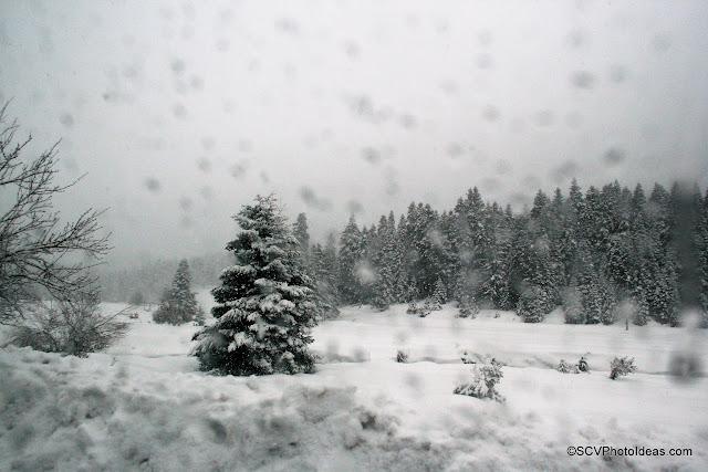 Snowed fields and Fir-Trees Wood Scenery