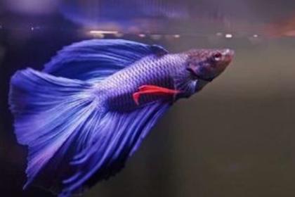 Cara Merawat Ikan Cupang yang Baik dan Benar