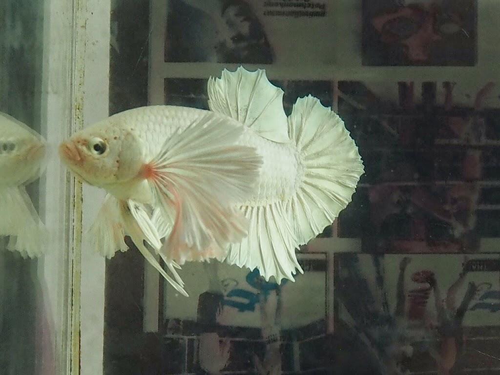 Ikan Cupang Termahal : Cupang Giant Albino - Jenis Ikan Cupang