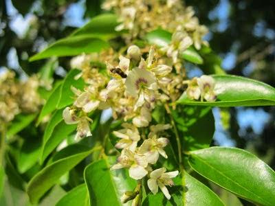 Lapachillo (Poecilanthe parviflora)