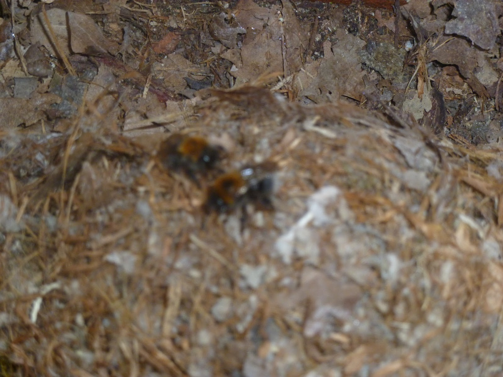 Derby And District Beekeeping Project Dadbeep Bumble