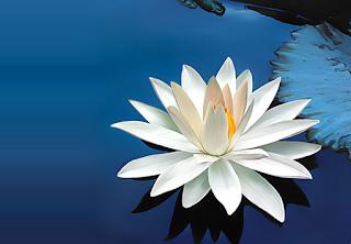 Obat herbal bunga teratai