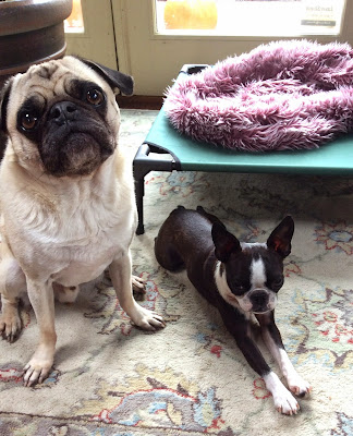 Liam the pug and Sinead the Boston terrier