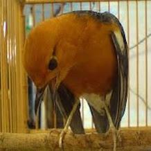 Jenis Buah Yang Dapat Membuat Burung Anis Merah Rajin Berbunyi