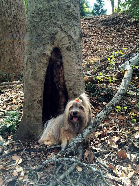 Rocco Havanese Dog Hobbit Hole Tree