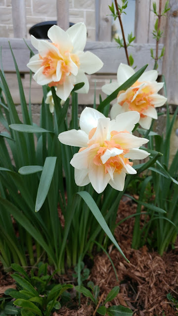White and Orange Daffodils