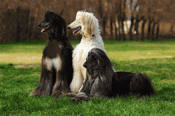 The gentle Afghan hound afghan hound puppy  temperament  price puppies rescue short hair  price in india saluki dog dogs
