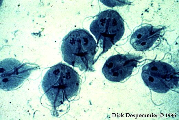 Traveling Small With A Nucleus Turning Giardia Lamblia S