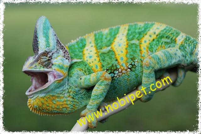 chameleon-reptile-tac-ke-hoa-doi-mau-tim-hieu-bo-sat-canh-dac-biet