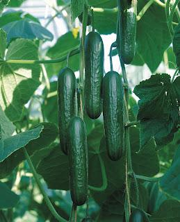'Socrates' Cucumber