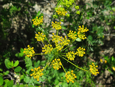 Estaca (Kundmannia) flor silvestre amarilla