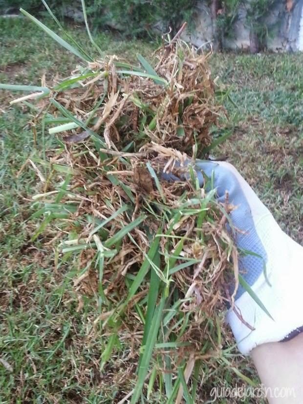 Las claves para recuperar un c sped estropeado guia de for Como quitar la mala hierba del jardin