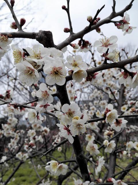 満開に咲いた白い梅の花