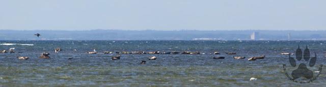 Suede-ile-Oland-reserve-naturelle-eckelsudde-phoques