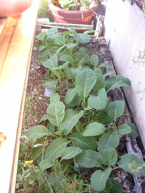 Many young cabbages growing in a cold frame