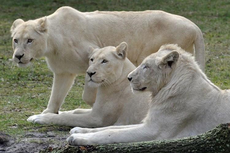 10 Hewan Putih Yang Jarang Terlihat Dunia Binatang