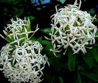 Gambar Bunga Asoka Berbagai Warna 5