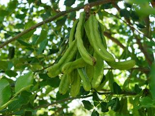 Χαρουπιά: σπορά φύτεμα καλλιέργεια