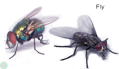 fly, fly insect