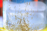 Gambar makanan ikan guppy jentik nyamuk