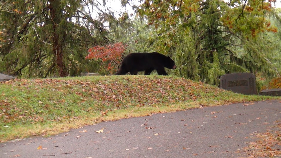Bear strolls through Riverside Cemetery.  Click image to see where it goes.