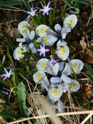 Katharine Hodgkin Dwarf Iris (Iris reticulata) at Toronto Botanical Garden by garden muses-not another Toronto gardening blog