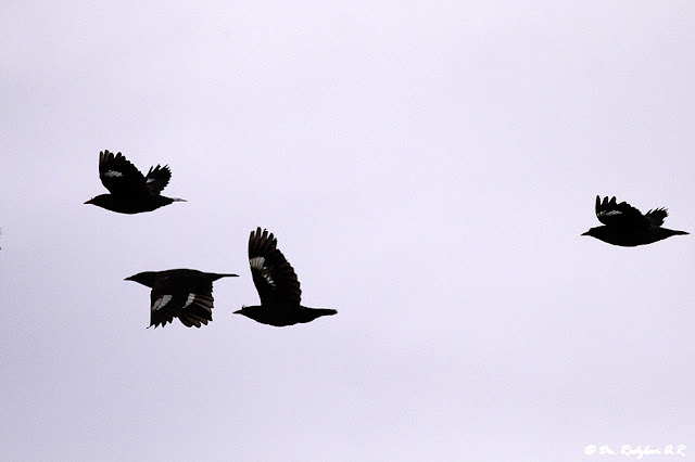 Crested Mynas in flight