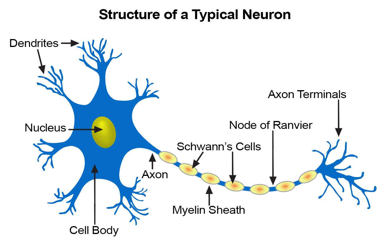 La Mitocondria Nuestros Tejidos Ii Tejido Nervioso