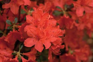 Gambar Bunga Azalea yang Indah 6