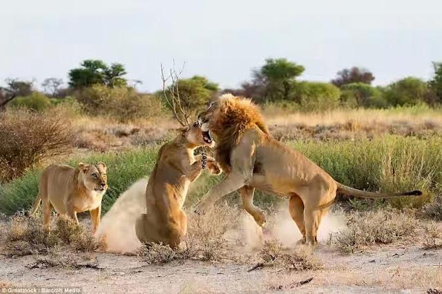 Just imagine what a jealous lion can do