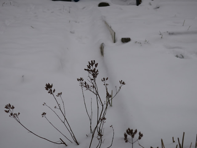 Marjoram stalks and seedcases on snowy allotment