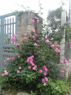 hoa hồng tree rose