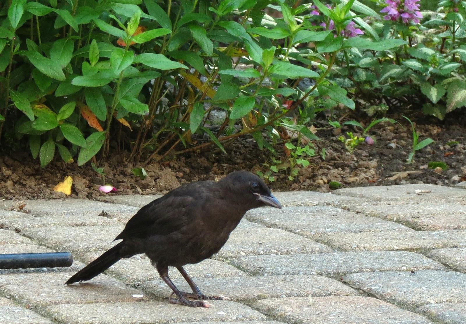 fledgling grackle - photo #13