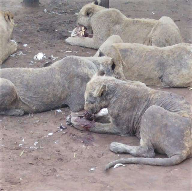 Heartbreaking Pictures Of Sick Lions With No Fur Living In A 'Farm'