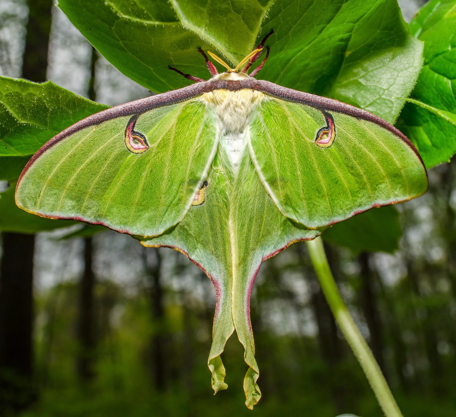 Luna Moth Actias luna