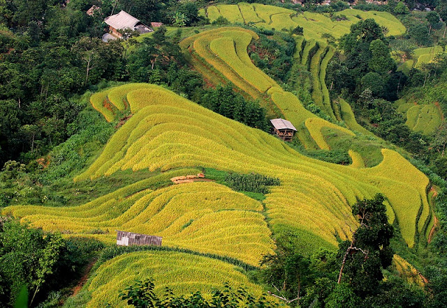 September - rice season is ripe - picturesque Northwest scenery 1