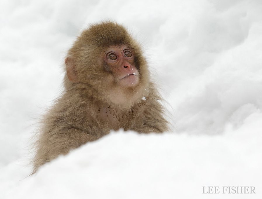 Innocent baby snow monkey tentatively looking out for its mother