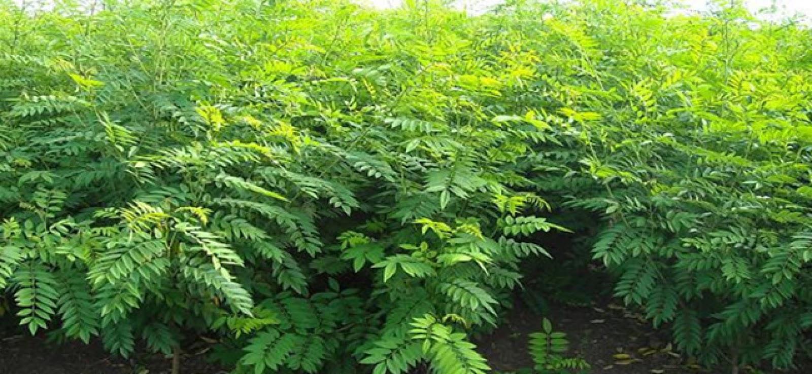 Jual Benih / Biji Pohon Indigofera
