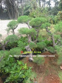 jual pohon bonsai cemara udang untuk taman indah dengan harga murah
