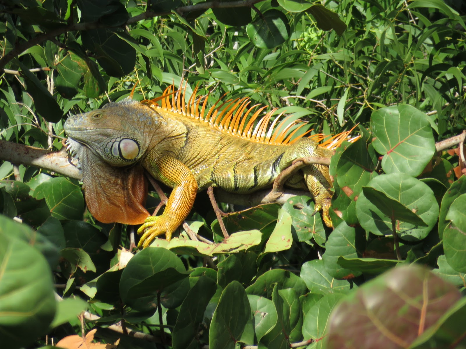 Bird Photos, Birding Sites, Bird Information: GREEN IGUANAS ...