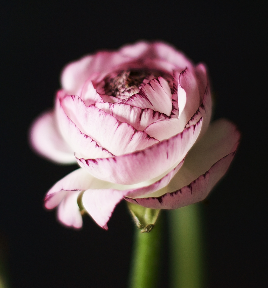 Ranunculus Petals Photo