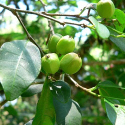 arboles nativos de Argentina Lecherón Sebastiania brasiliensis