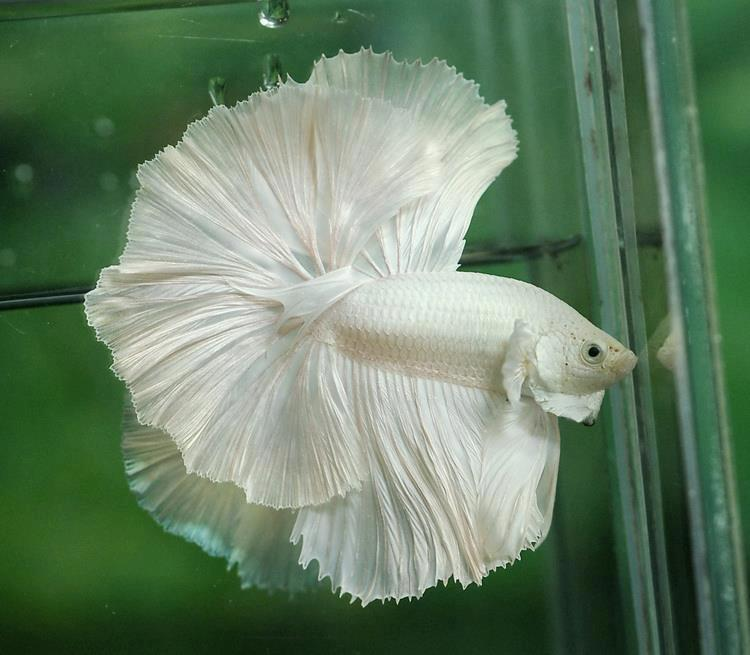 All about betta fish: platinum white betta halfmoon