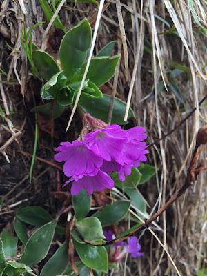 [Primulaceae] Primula glaucescens