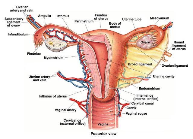 Bagian-Bagian Alat Reproduksi pada Wanita, Lengkap